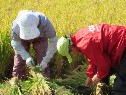 コープさっぽろ 稲刈り体験のお手伝いに参加しました。